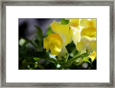 Yellow Snapdragons I Framed Print by Aya Murrells