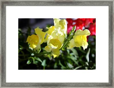 Yellow Snapdragons II Framed Print by Aya Murrells
