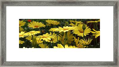 Yellow Splendor Framed Print