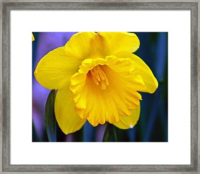 Framed Print featuring the photograph Yellow Spring Daffodil by Kay Novy