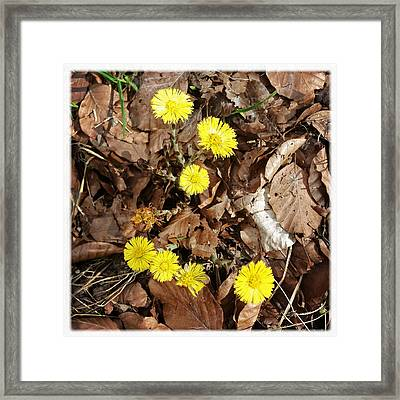 Yellow Spring Flowers And Old Brown Leaves Framed Print