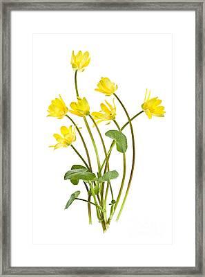 Yellow Spring Wild Flowers Marsh Marigolds Framed Print