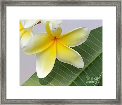 Yellow Star Plumeria Framed Print by Sabrina L Ryan