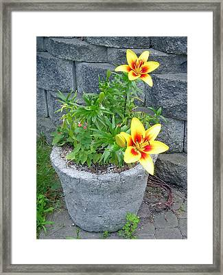 Yellow Stargazers Framed Print by Aimee L Maher Photography and Art Visit ALMGallerydotcom