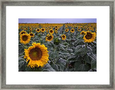 Yellow Sunflower Field Framed Print by Dave Dilli