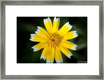 Yellow Sunshine  Framed Print by Gandz Photography