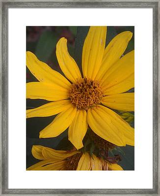 Yellow Sunshine Framed Print by Kim Martin