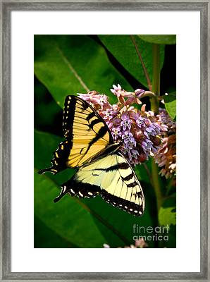 Yellow Swallowtail Butterfly Framed Print by Amy Cicconi