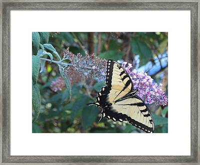 Yellow Swallowtail Butterfly Framed Print by Debbie Nester