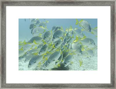 Yellow-tailed Grunt Fish Anisotremus Framed Print by Keith Levit