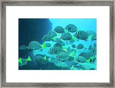 Yellow Tailed Surgeonfish Framed Print by Christopher Swann