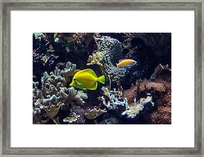 Yellow Tang Framed Print by Douglas Barnett