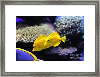 Yellow Tang Tropical Fish 5d24887 Framed Print