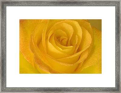 Yellow Tea Rose Framed Print by John Pitcher