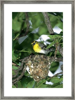 Yellow-throated Vireo (vireo Flavifrons Framed Print