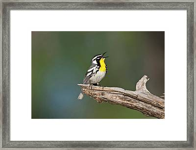 Yellow-throated Warbler (dendroica Framed Print by Larry Ditto