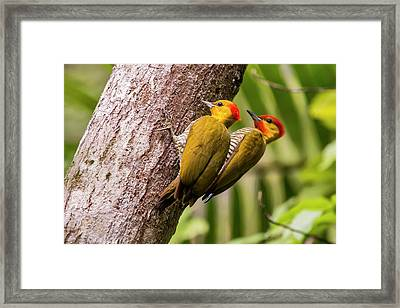 Yellow-throated Woodpecker Piculus Framed Print