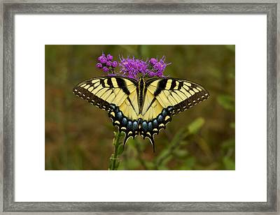 Yellow Tiger Swallowtail Butterfly. Framed Print