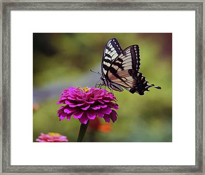 Yellow Tiger Swallowtail Butterfly Framed Print