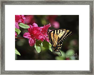 Yellow Tiger Swallowtail Butterfly Framed Print by Nava Thompson