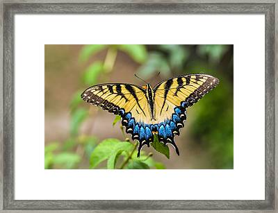 Yellow Tiger Swallowtail Framed Print by Debbie Green