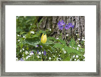 Yellow Trillium - D008723 Framed Print by Daniel Dempster