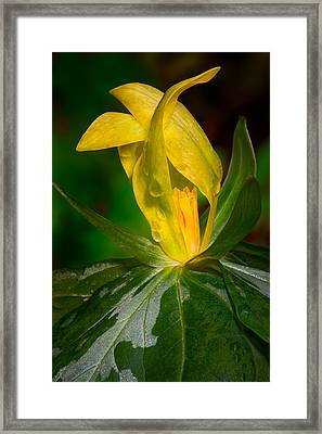 Framed Print featuring the photograph Yellow Trillium by Tyson and Kathy Smith