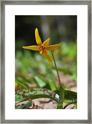 Yellow Trout Lilly Framed Print