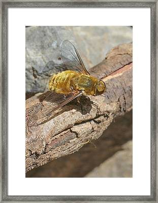 Framed Print featuring the photograph Yellow True Bee Fly - Bombiliinae by Jivko Nakev