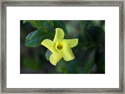 Yellow Trumpet Flower Framed Print by Ramabhadran Thirupattur