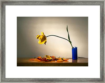 Yellow Tulip 2 Framed Print