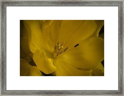 Yellow Tulip Framed Print by Cindy Rubin