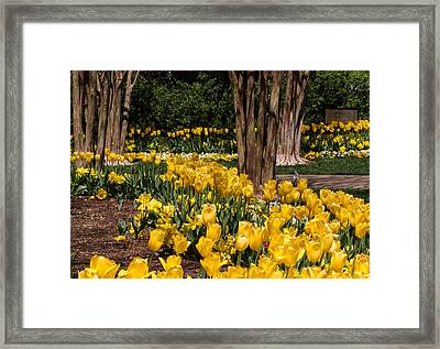 Yellow Tulip Pathway Framed Print by Paula Ponath