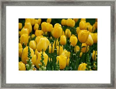 Yellow Tulip Sea Framed Print by Jennifer Ancker