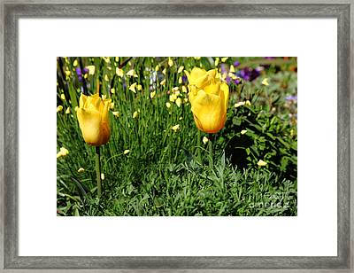 Yellow Tulips 5d22445 Framed Print by Wingsdomain Art and Photography