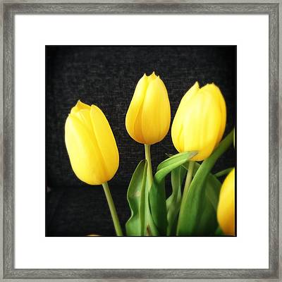 Yellow Tulips Black Background Framed Print