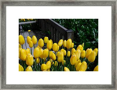 Framed Print featuring the photograph Yellow Tulips by Haleh Mahbod