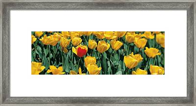 Yellow Tulips In A Field Framed Print