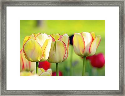 Yellow Tulips Framed Print by Tommytechno Sweden