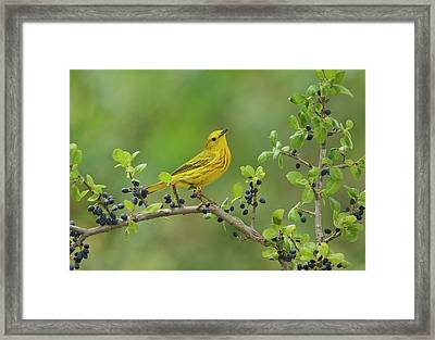 Yellow Warbler (dendroica Petechia Framed Print