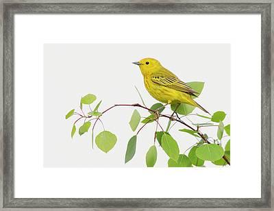 Yellow Warbler, Spring Aspen Leaves Framed Print