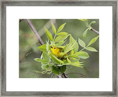 Yellow Warbler Surprise Framed Print