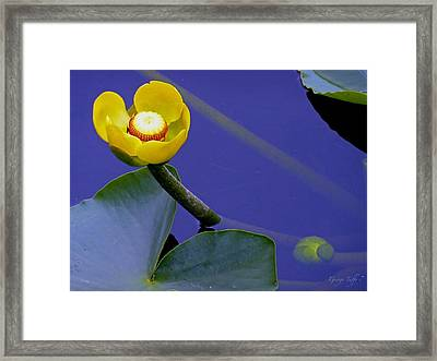 Yellow Water Lily Framed Print