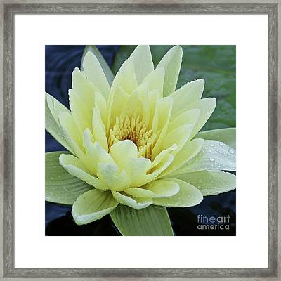 Yellow Water Lily Nymphaea Framed Print by Heiko Koehrer-Wagner