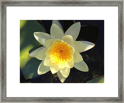 Yellow Water Lily Framed Print by Pema Hou
