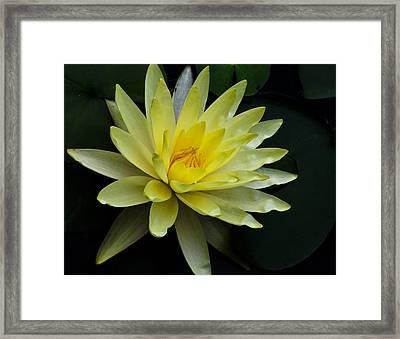 Yellow Waterlily Framed Print by Christi Kraft