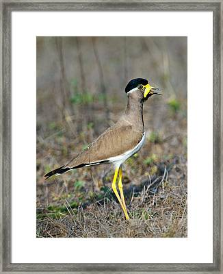 Yellow-wattled Lapwing Vanellus Framed Print
