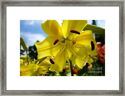 Yellow Whopper Lily 2 Framed Print
