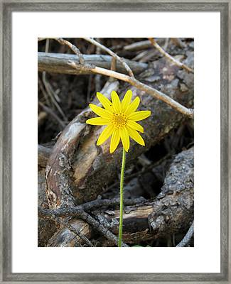 Framed Print featuring the photograph Yellow Wildflower by Laurel Powell