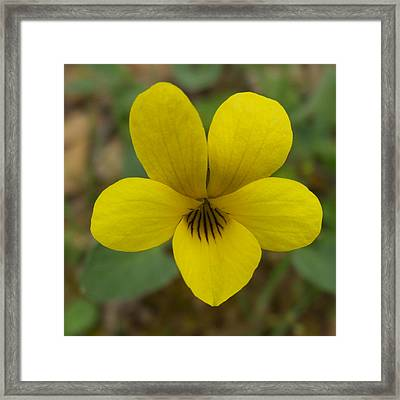 Yellow Wood Violet In Park Sierra-ca Framed Print by Ruth Hager